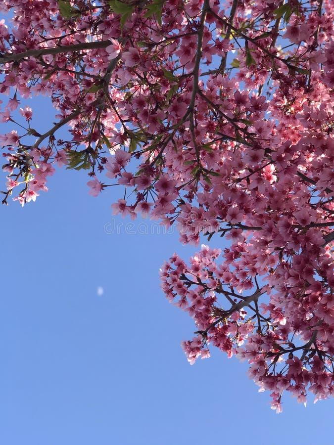 Cherry Blossoms con la luna foto de archivo libre de regalías