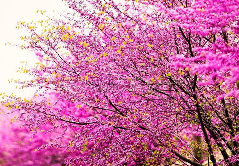 Cherry Blossoms cor-de-rosa fotografia de stock