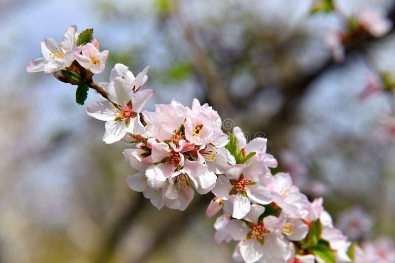 Cherry Blossoms Día asoleado del resorte Primer en un natural borroso foto de archivo libre de regalías