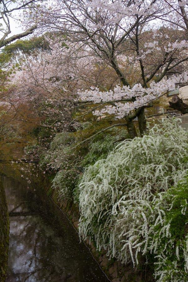 Cherry Blossoms de Japón fotos de archivo libres de regalías