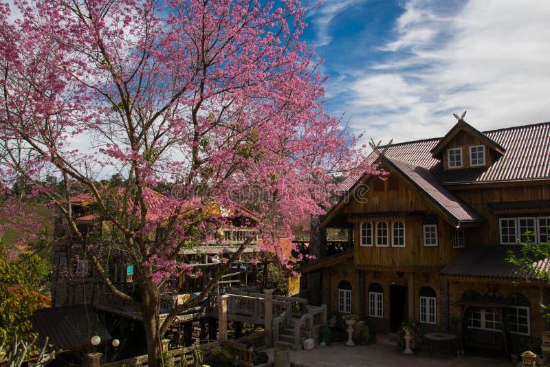 Cherry Blossoms de l'Himalaya sauvage dans Banrongkha photo stock