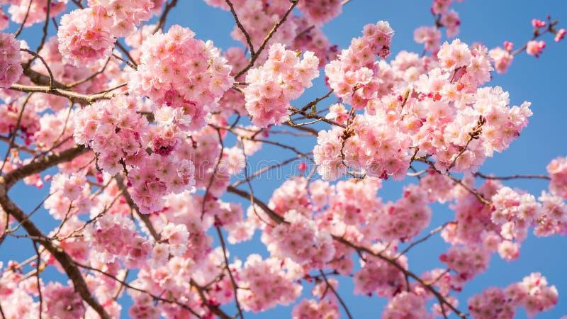Cherry Blossoms die de hemel vullen stock foto