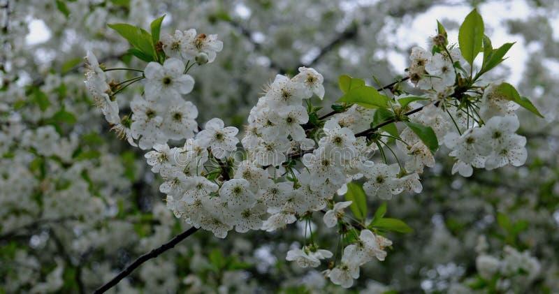 Cherry Blossoms E stockbilder