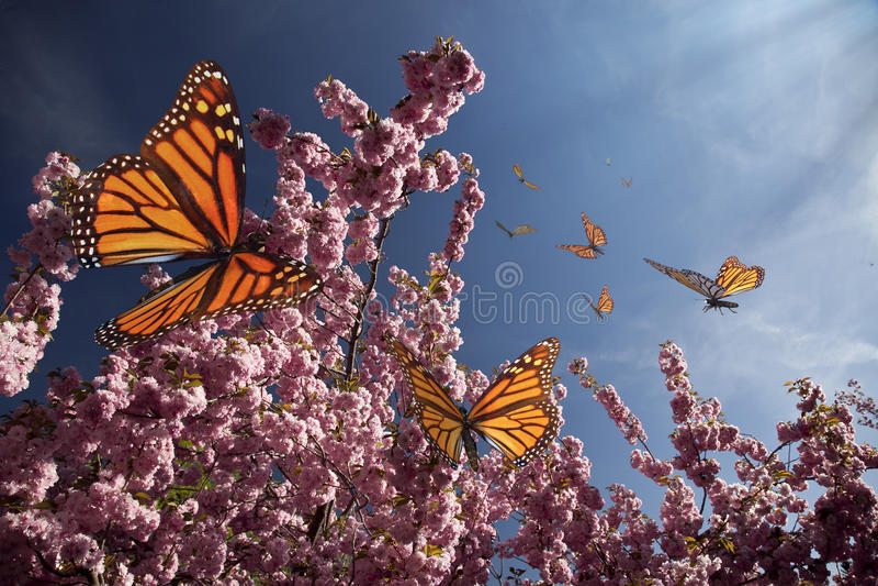 Cherry Blossoms e borboletas ilustração stock
