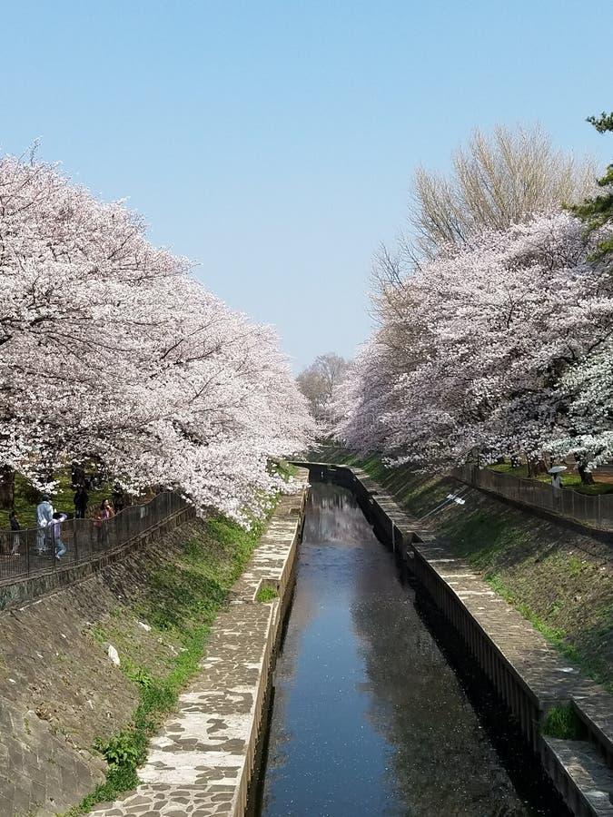 Cherry Blossoms em Suginami-ku fotos de stock
