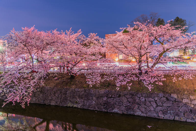 Cherry Blossoms en la noche en Japón fotografía de archivo libre de regalías