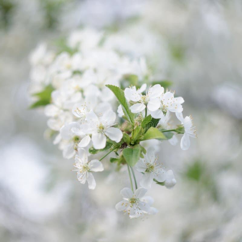 Cherry Blossoms Fondo que remolina fotografía de archivo libre de regalías