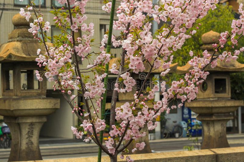 Cherry Blossoms in front of stone street lanterns royalty free stock image