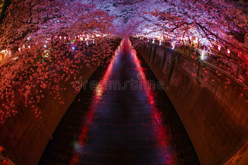 Cherry blossoms in full bloom of Meguro River. Shooting location :  Tokyo metropolitan area stock photo