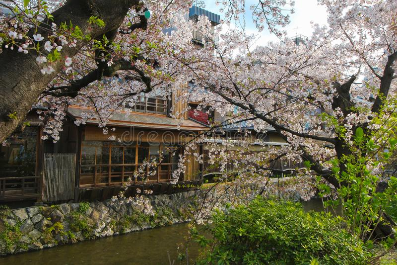 Cherry Blossoms in Gion District, Kyoto, Japan, in Azië royalty-vrije stock afbeelding
