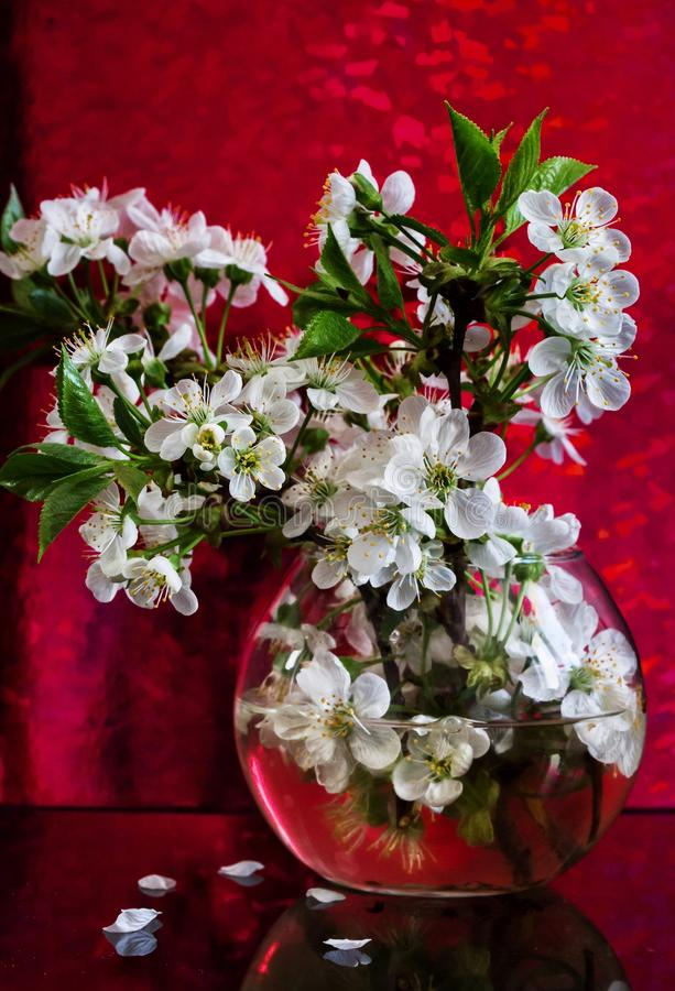 Cherry blossoms. In glass vase stock images