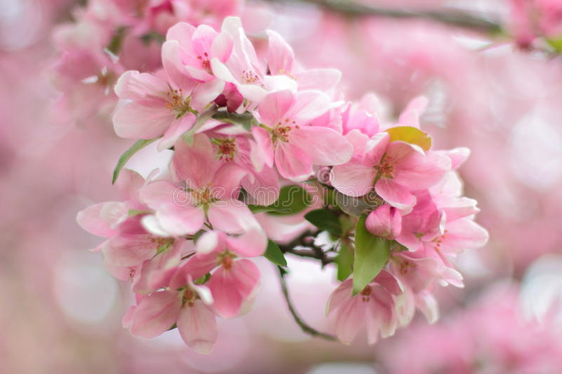 Cherry blossoms. In high park, Toronto, Canada stock photo