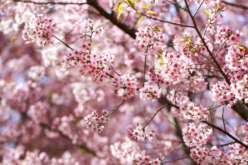 Cherry Blossoms Himalayan salvaje en cerasoides del Prunus de la estación de primavera, Sakura en Tailandia, foco selectivo, Phu  fotografía de archivo