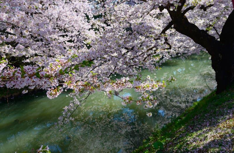 Cherry blossoms at Hirosaki Park stock image