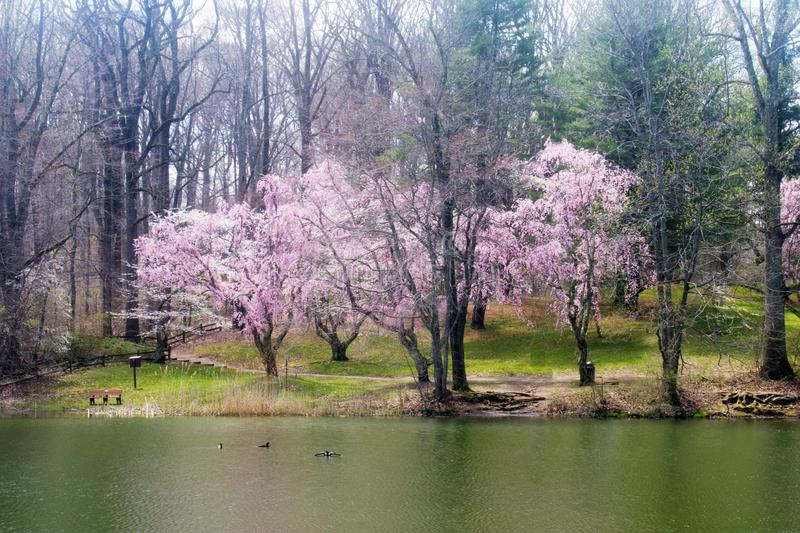 Cherry Blossoms at Holmdel Park -02 stock photo