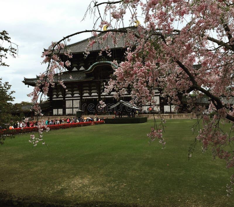 Cherry Blossoms i Nara fotografering för bildbyråer