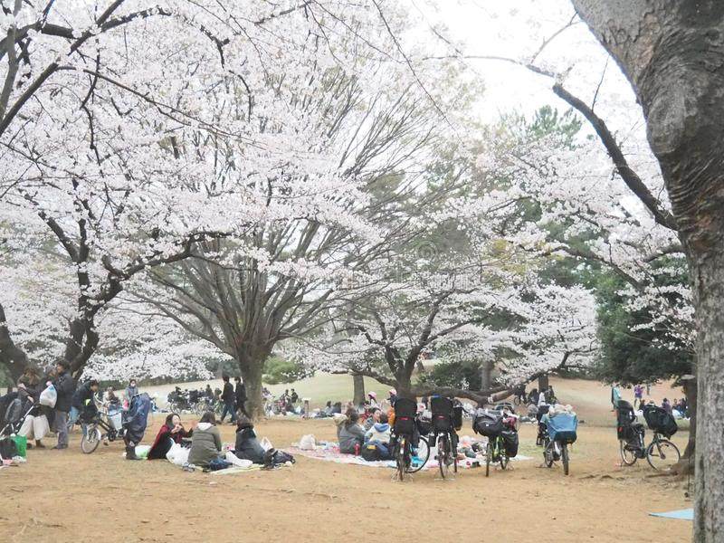 Cherry Blossoms japonês na flor fotografia de stock