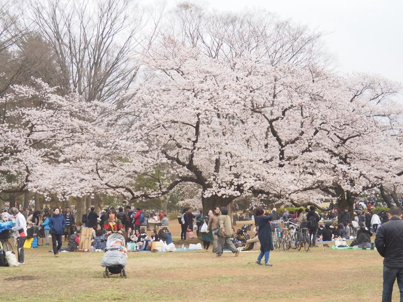 Cherry Blossoms japonês na flor imagem de stock