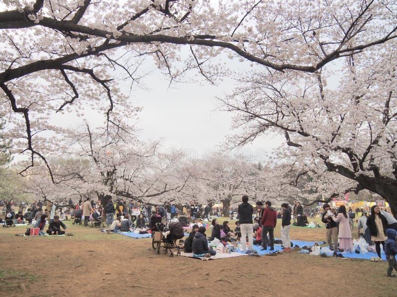 Cherry Blossoms japonês na flor imagens de stock royalty free