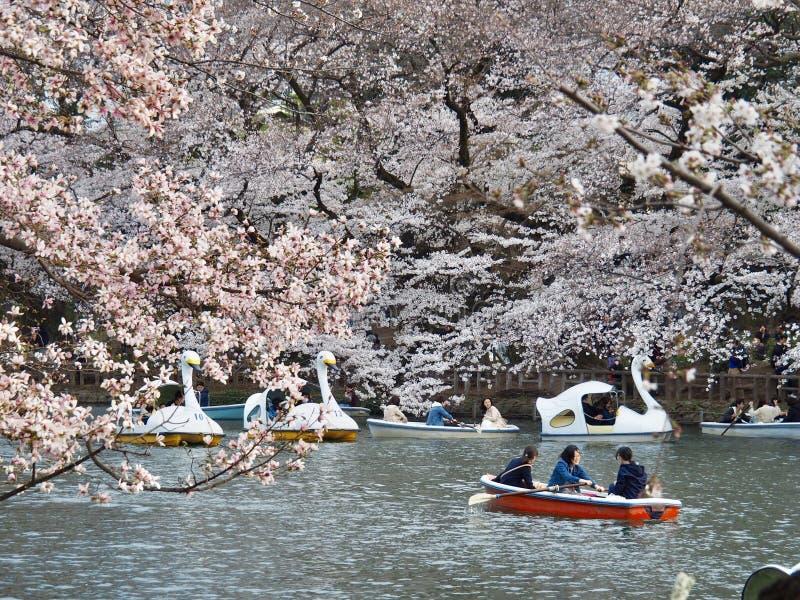Cherry Blossoms japon?s na flor imagem de stock