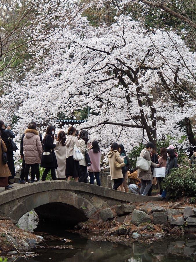 Cherry Blossoms japon?s na flor fotos de stock royalty free