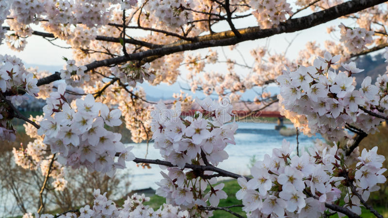 Cherry blossoms in Kakunodate royalty free stock image