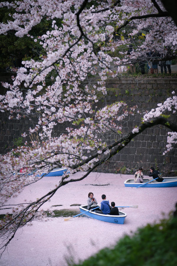 Cherry Blossoms: Kalme riverboatrit in roze rivier stock foto's