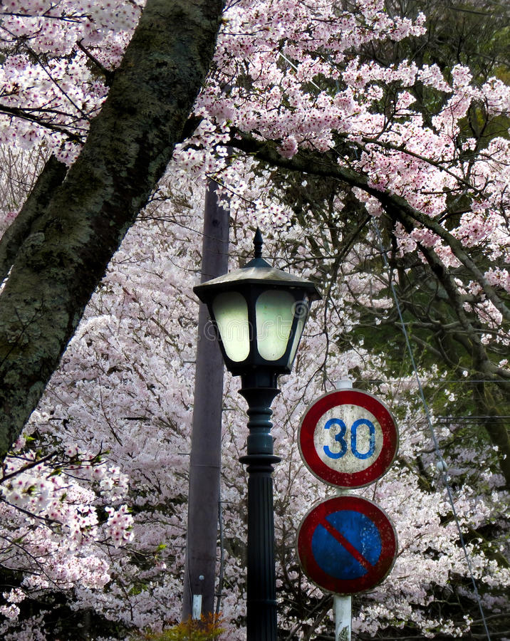 Cherry blossoms with lamppost and traffic signs. Beneath a glorious array of pink cherry blossom leaves sit an old lamppost and some traffic signs in this scene royalty free stock photo