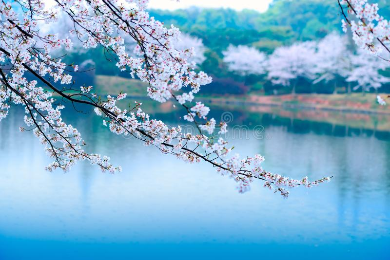 Cherry blossoms are like snow royalty free stock images
