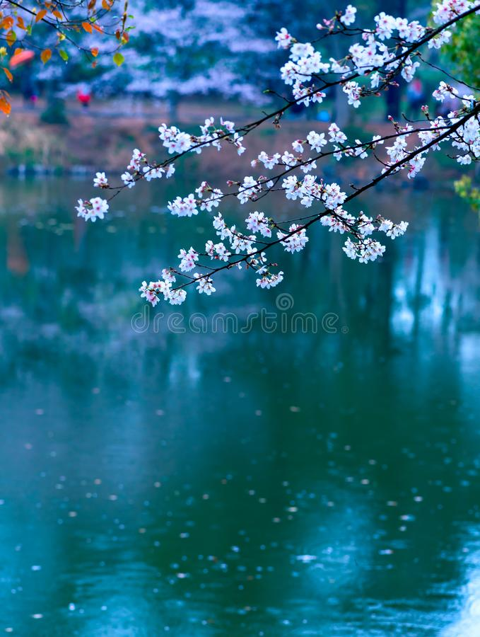 Cherry blossoms are like snow royalty free stock image