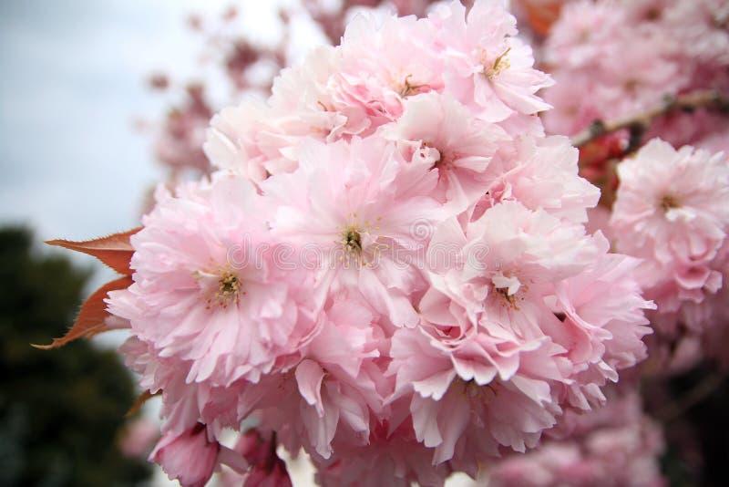 Cherry Blossoms na melrose, Escócia fotos de stock