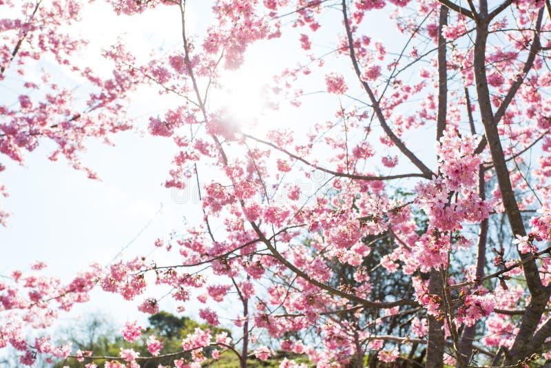 Cherry Blossoms in Negen Taiwan stock afbeelding
