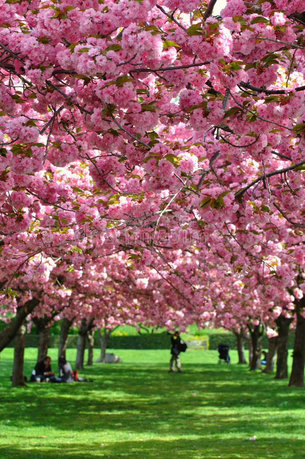 Cherry blossoms in New York Botanical Gardens stock photo