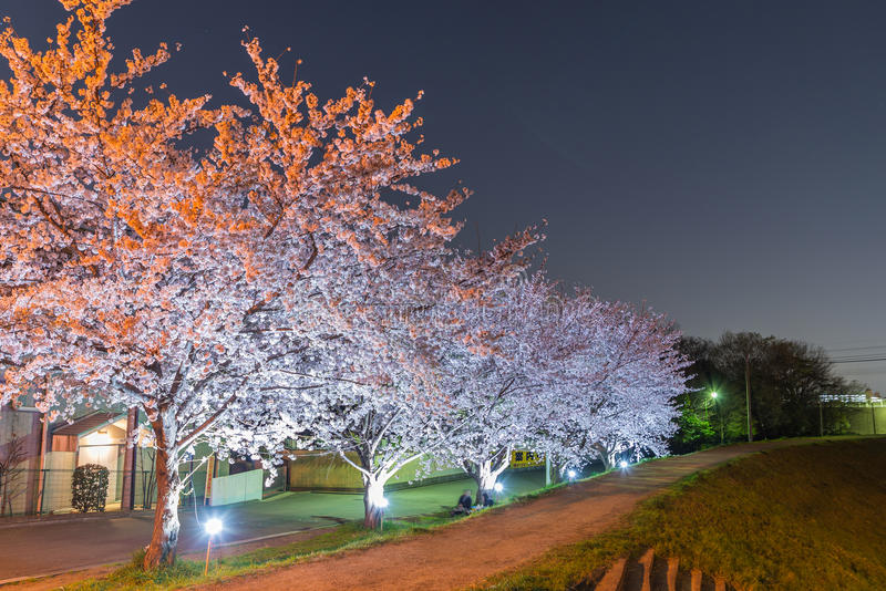 Cherry Blossoms at night royalty free stock photos