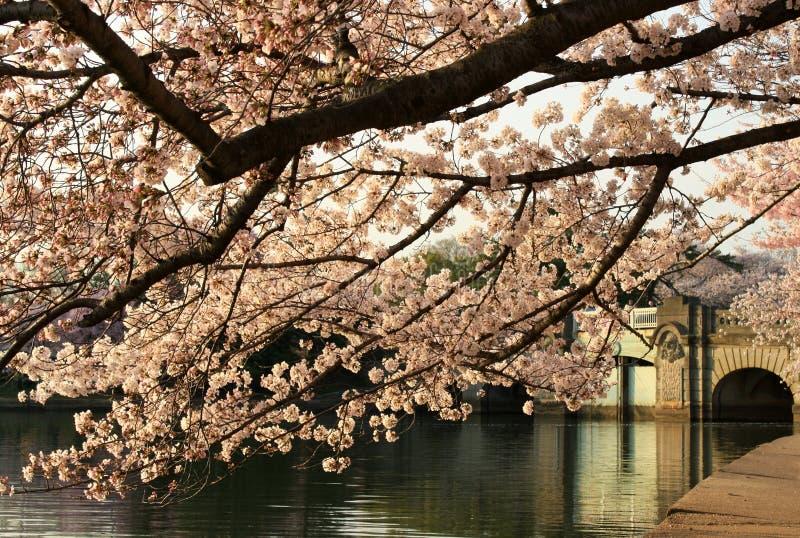 Cherry blossoms over bridge stock photos