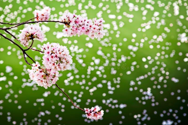 Cherry Blossoms Over Fallen Petals Stock Photo