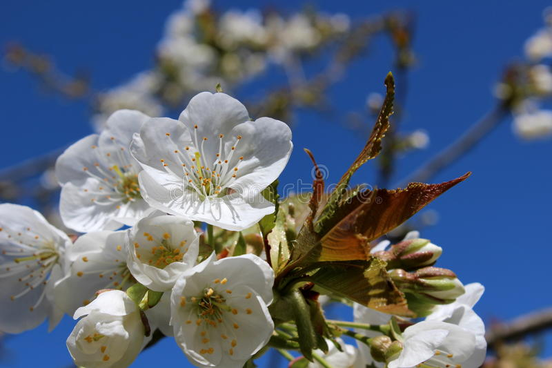 Cherry blossoms over nature blue sky stock photos