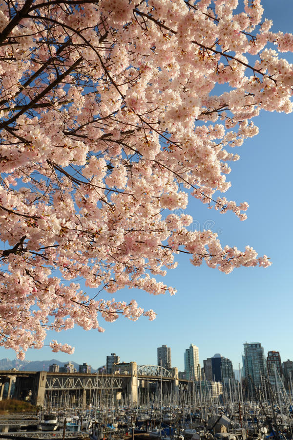 Cherry Blossoms over Vancouver royalty-vrije stock foto