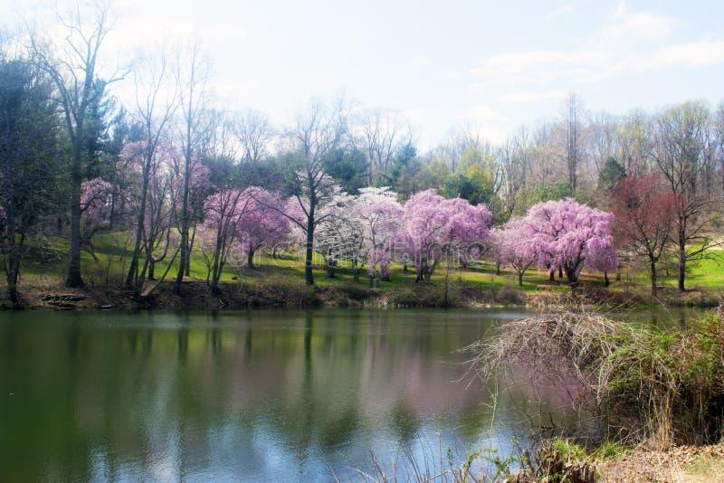 Cherry Blossoms på Holmdel parkerar -01 royaltyfria foton
