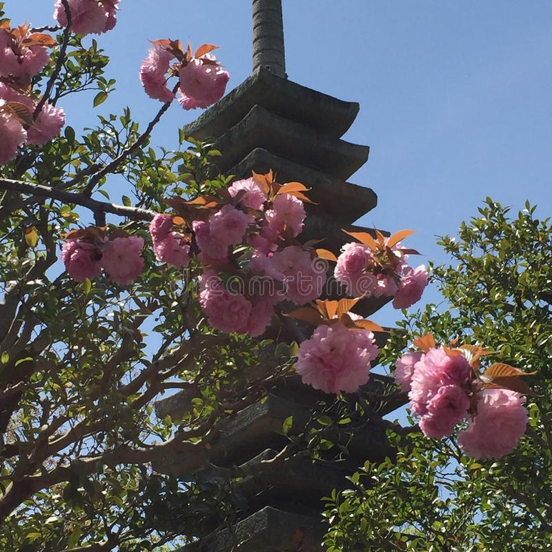 Cherry blossoms and pagoda stock photography