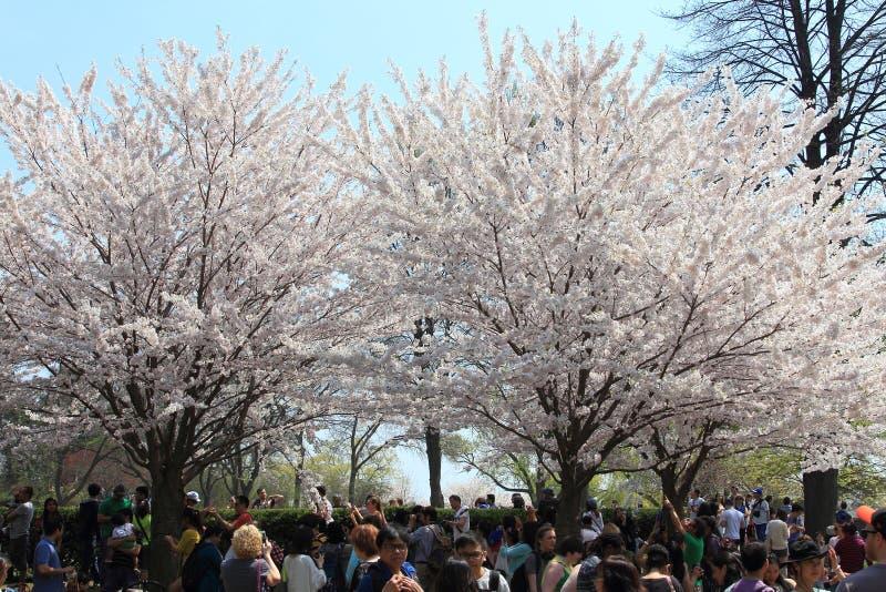 Cherry Blossoms, parque alto Toronto fotos de stock