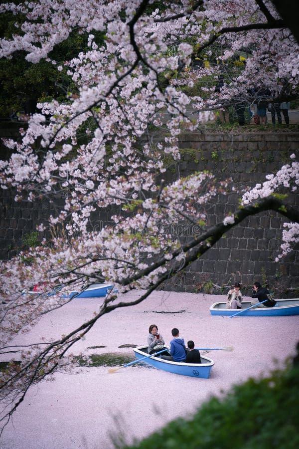 Cherry Blossoms: Passeio calmo do riverboat no rio cor-de-rosa fotos de stock