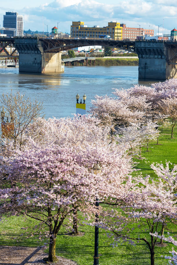 Cherry Blossoms in Portland, Oregon. Cherry blossoms and Burnside Bridge in downtown Portland, Oregon in the Spring time royalty free stock photo