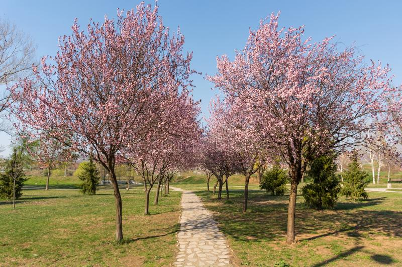 Cherry blossoms and the romantic tunnel of pink cherry flower trees blossom and a walking path in spring season in park stock image