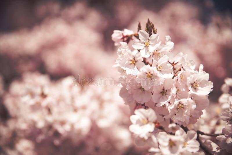 Cherry Blossoms rosado imagenes de archivo