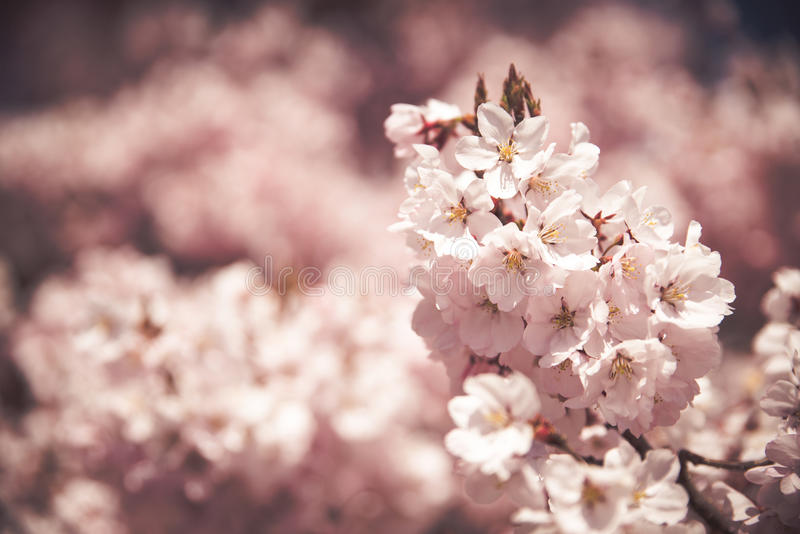Cherry Blossoms rose images stock
