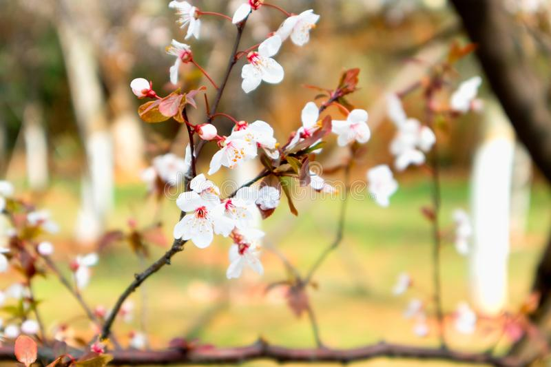 Cherry blossoms-sakura royalty free stock photo