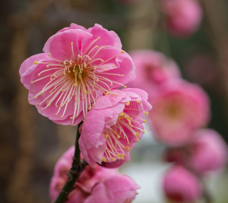Cherry Blossoms in Selective Focus Blooming on Branch royalty free stock photo