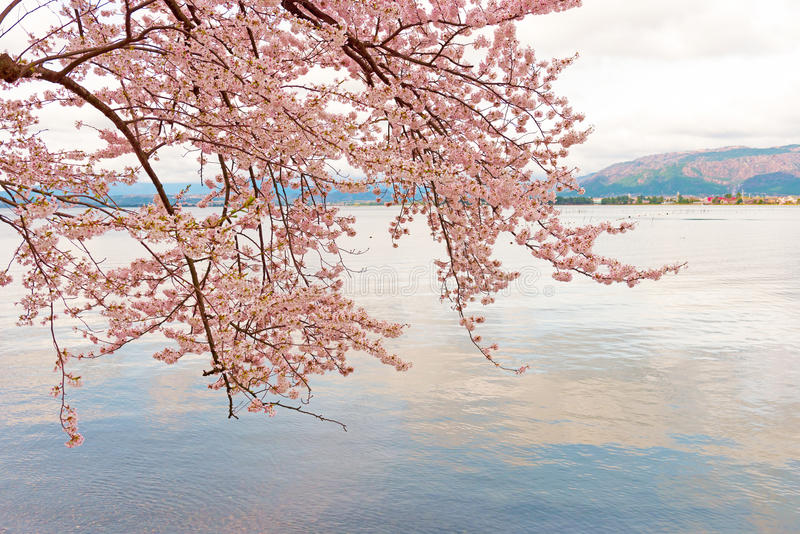 Cherry Blossoms in Shiga, Japan stock foto's