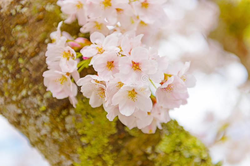 Cherry Blossoms in Shiga, Japan stock foto